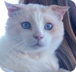Siamese Cat for adoption in Pasadena, California - Duke