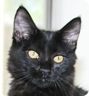 Domestic Longhair Kitten for adoption in Winchester, California - Zena