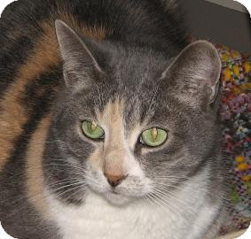 Domestic Shorthair Cat for adoption in Woodstock, Illinois - Mindy