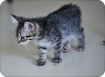 Domestic Mediumhair Kitten for adoption in Trevose, Pennsylvania - Lover