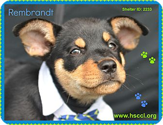 Rottweiler/Shepherd (Unknown Type) Mix Puppy for adoption in Plano, Texas - Rembrandt