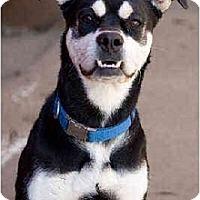 Adopt A Pet :: Oreo - Portland, OR