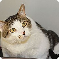 Domestic Shorthair Cat for adoption in Lincoln, Nebraska - Diesel