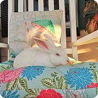 Adopt A Pet :: Snow - Hillside, NJ