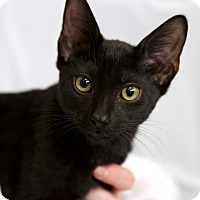 Adopt A Pet :: Daredevil - St Louis, MO