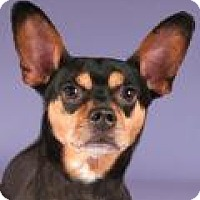 Miniature Pinscher Mix Dog for adoption in Chicago, Illinois - Manny