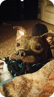 American Pit Bull Terrier Dog for adoption in Sioux Falls, South Dakota - Zena