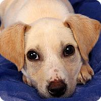 Adopt A Pet :: Molly Labmix - St. Louis, MO