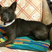 Adopt A Pet :: Chrome - Phoenix, AZ