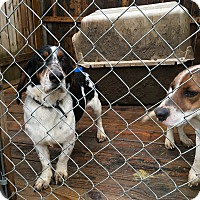 Beagle/Basset Hound Mix Dog for adoption in Staunton, Virginia - Daisy