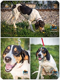 Coonhound Mix Dog for adoption in Evansville, Indiana - Cassidy