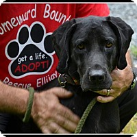 Great Dane/Hound (Unknown Type) Mix Dog for adoption in Ellijay, Georgia - Dale