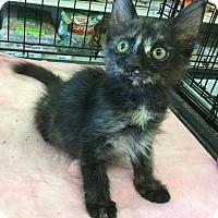 Adopt A Pet :: Tortellini - Gilbert, AZ