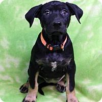 Adopt A Pet :: GABBANA - Westminster, CO