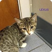 Adopt A Pet :: Lexus - Merrifield, VA