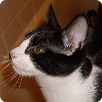 Domestic Shorthair Kitten for adoption in Buhl, Idaho - Louie