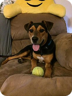 Beagle/Australian Shepherd Mix Dog for adoption in Basehor, Kansas - Buster