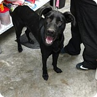 German Shepherd Dog/Great Dane Mix Dog for adoption in Paducah, Kentucky - Blaze