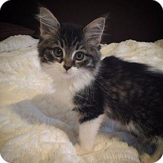 Domestic Shorthair Kitten for adoption in Shakopee, Minnesota - Evy C1540