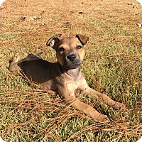 Boxer Mix Puppy for adoption in Rochester, New Hampshire - Brienne
