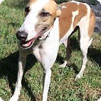 Adopt A Pet :: Bookie - Ashland City, TN
