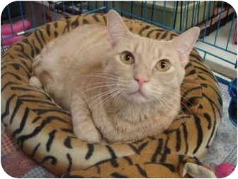 Domestic Shorthair Cat for adoption in Chesapeake, Virginia - Creamy