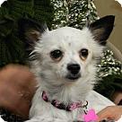 Adopt A Pet :: Callie Cuddles