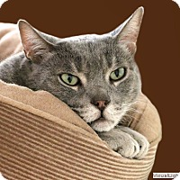 Domestic Shorthair Cat for adoption in Westchester, California - Donald