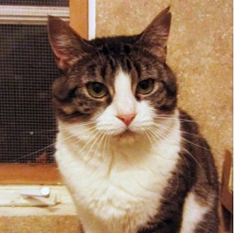 Domestic Shorthair Cat for adoption in Kingston, Washington - Buttons