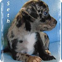Adopt A Pet :: Seth-Adoption Pending - Marlborough, MA