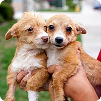 Dachshund/Italian Greyhound Mix Puppy for adoption in San Diego, California - Star Trek Puppies - Females