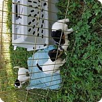 Adopt A Pet :: Turkey Adair Vinita - Granby, MO