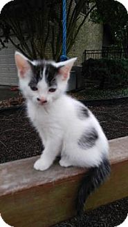 Domestic Shorthair Kitten for adoption in Santa Fe, Texas - Dottie