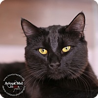 Domestic Mediumhair Cat for adoption in Lyons, New York - Gizmo