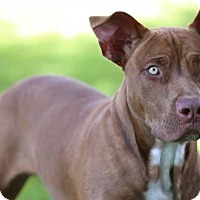 American Staffordshire Terrier Mix Puppy for adoption in Pembroke Pines, Florida - Zizo