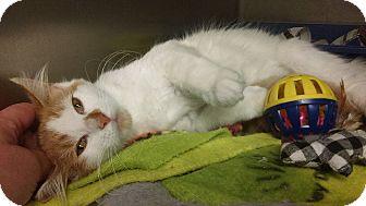 Domestic Shorthair Kitten for adoption in Whitestone, New York - Twinkie