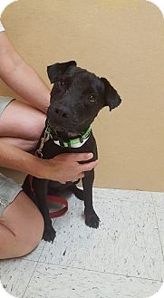 Jack Russell Terrier Mix Dog for adoption in St John, Indiana - Tank