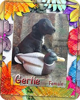 Shepherd (Unknown Type) Mix Puppy for adoption in Manchester, Connecticut - Gertie meet me 10/21