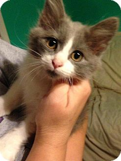 Domestic Shorthair Kitten for adoption in Aurora, Colorado - Ace