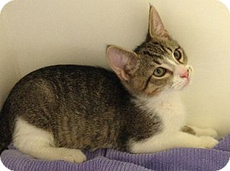 Domestic Shorthair Kitten for adoption in Putnam Hall, Florida - Simba