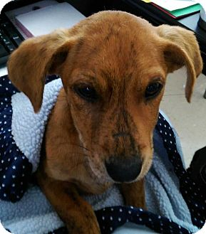 Beagle/Terrier (Unknown Type, Small) Mix Dog for adoption in Lexington, Tennessee - Jack