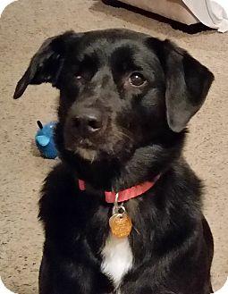 Labrador Retriever Mix Dog for adoption in Lowell, Indiana - Kia