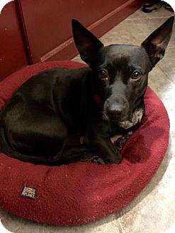 Dachshund/Pembroke Welsh Corgi Mix Dog for adoption in Norman, Oklahoma - Machida
