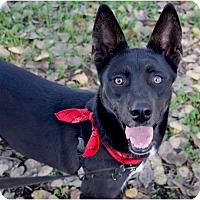Shepherd (Unknown Type)/Basenji Mix Dog for adoption in Redding, California - Sophia smart girl, loves every