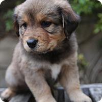 Adopt A Pet :: Duke - La Habra Heights, CA