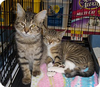Maine Coon Kitten for adoption in Richmond, Virginia - Marcel
