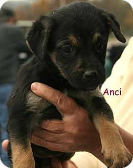 Terrier (Unknown Type, Medium)/Shepherd (Unknown Type) Mix Puppy for adoption in Danbury, Connecticut - Anci ADOPTION PENDING