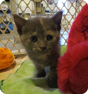 Domestic Shorthair Kitten for adoption in Geneseo, Illinois - Tiptoe