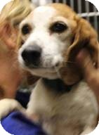 Beagle Mix Dog for adoption in Mahopac, New York - Sally