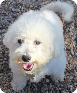 Bichon Frise Mix Dog for adoption in Norwalk, Connecticut - Willis